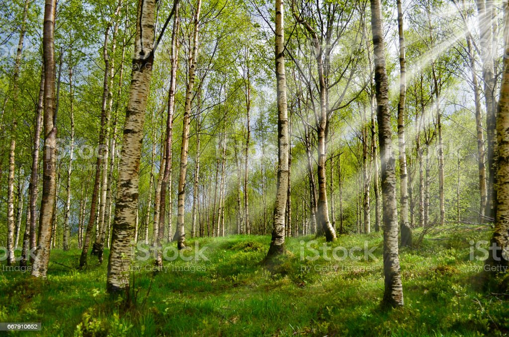 Birch bos met sunbeam​​​ foto