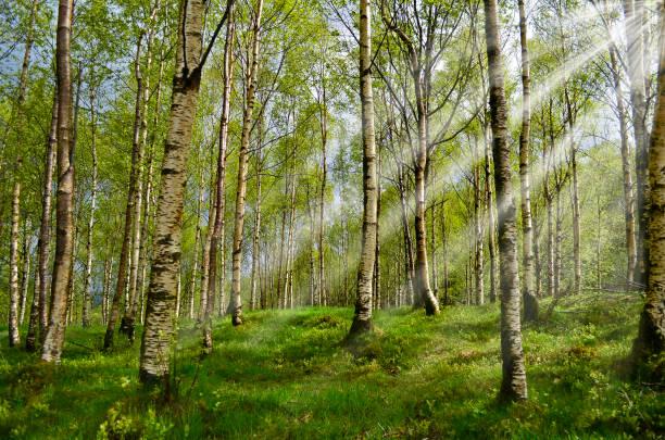 Birkenwald mit Sonnenstrahl – Foto