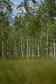 Birch forrest at swamp area