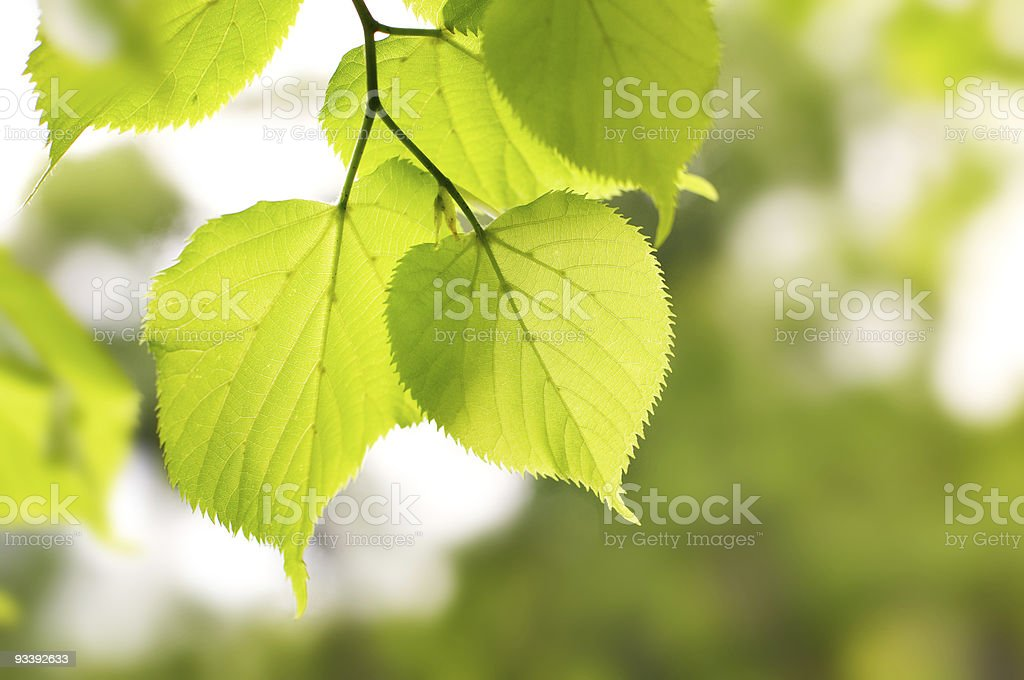 birch green leaves stock photo