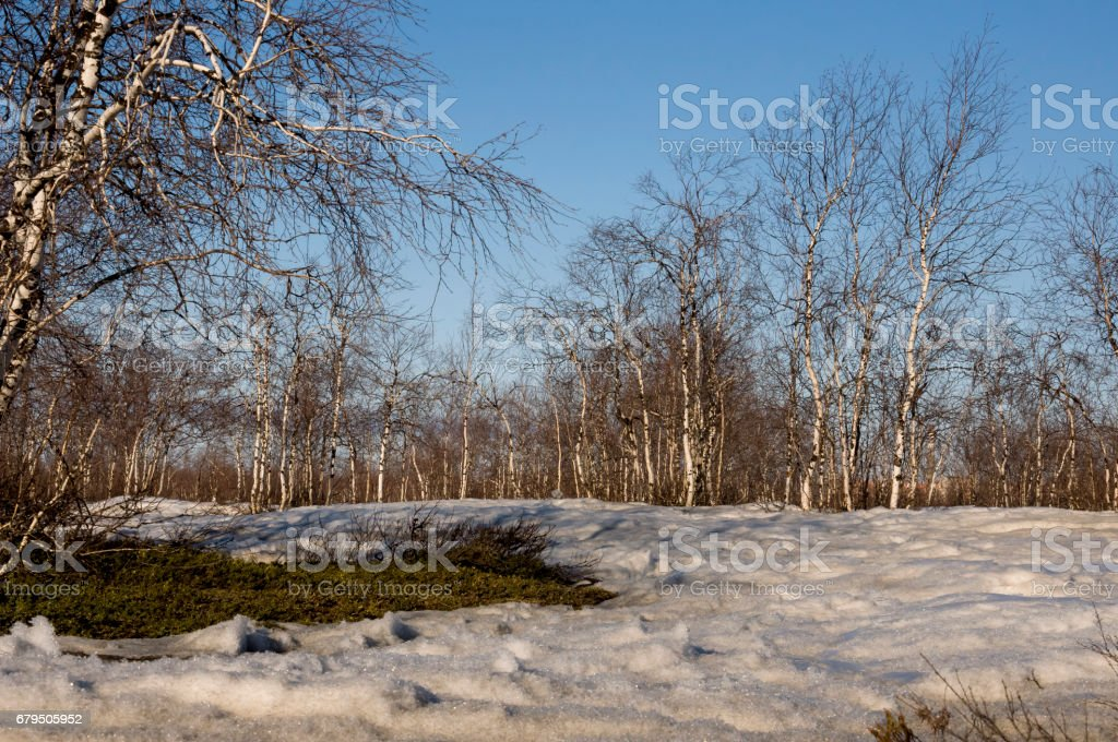 Birch Grove and blue sky in early spring royalty-free stock photo