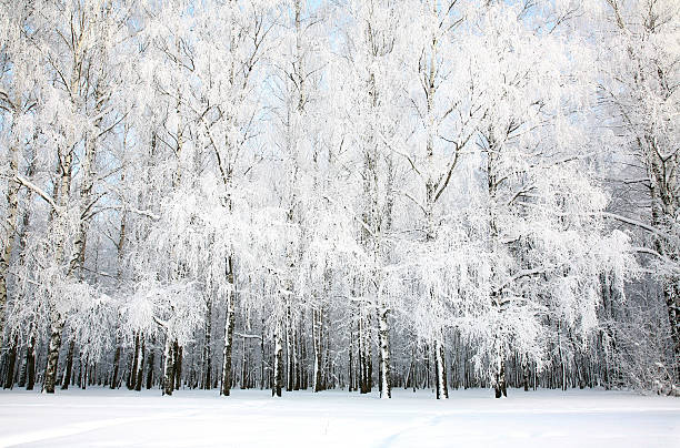 Birch Grove in Russische Winter – Foto