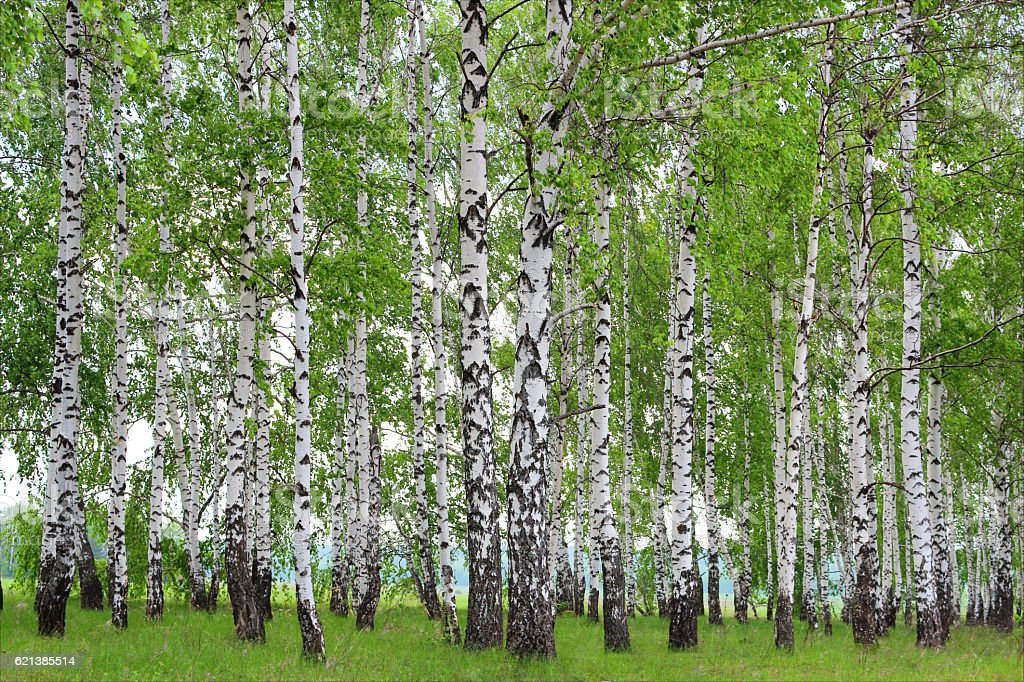 Birch Grove in the spring. stock photo