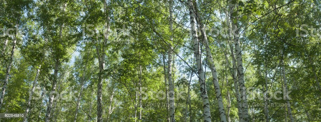 birch grove in the summer, upper branches of tree -- summer landscape, banner, panorama stock photo