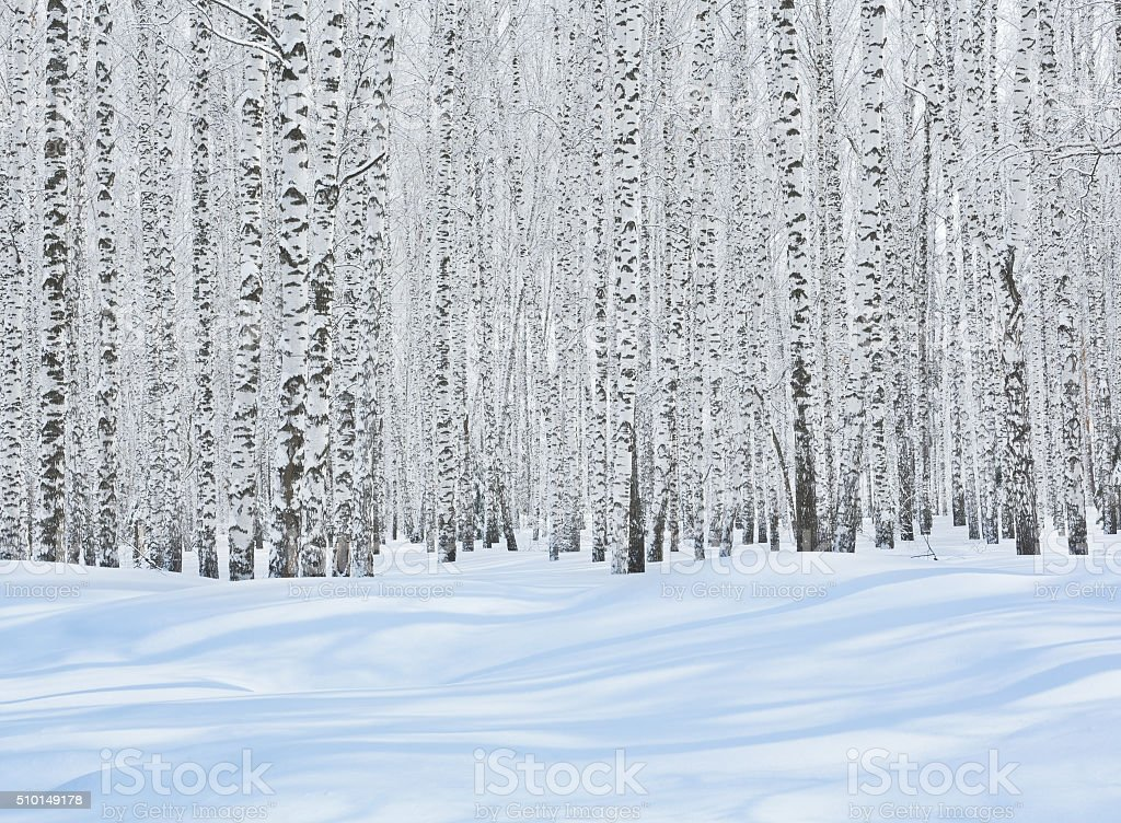 Birch Grove en hiver - Photo