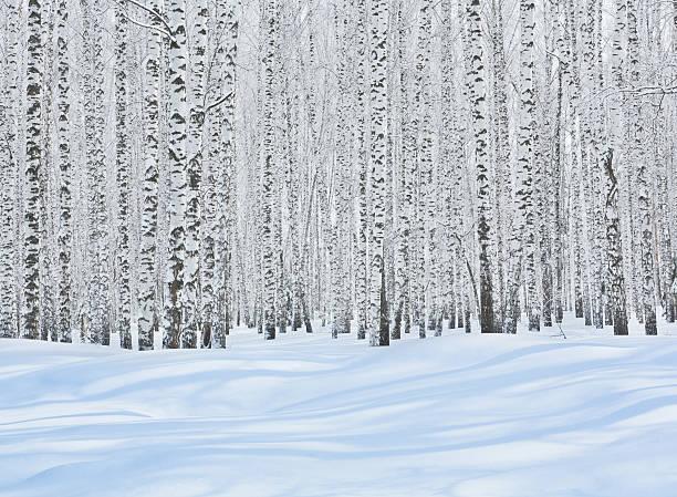 Birch Grove en hiver - Photo
