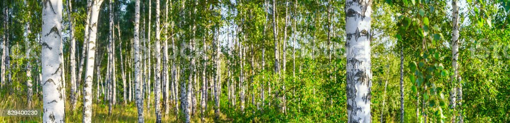 Birch grove on a sunny summer day landscape banner, huge panorama stock photo