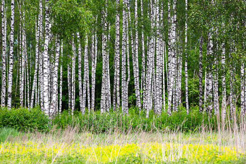Birch grove on a sunny summer day.
