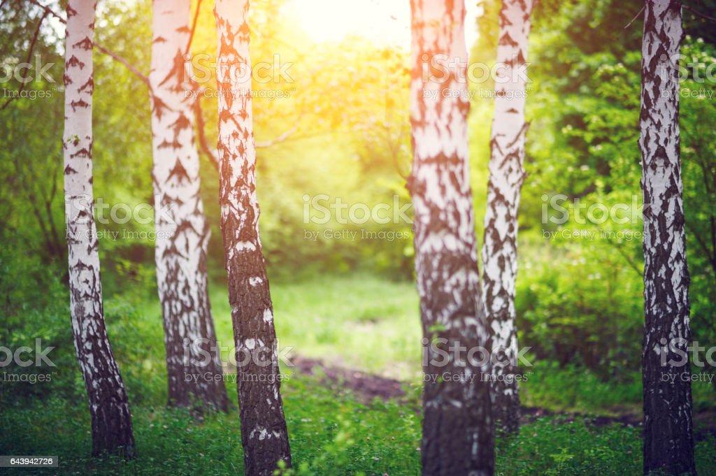 birch grove stock photo