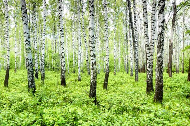 Birch grove – Foto