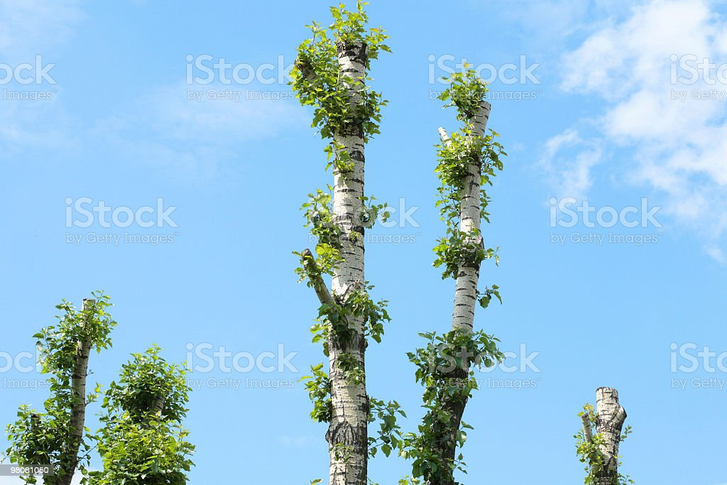 birch grove royalty-free stock photo