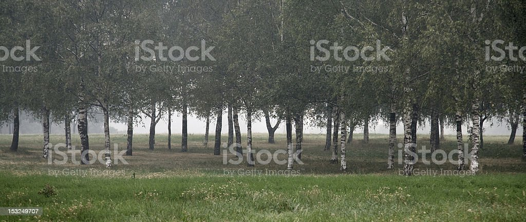 Birch grove with   fog stock photo
