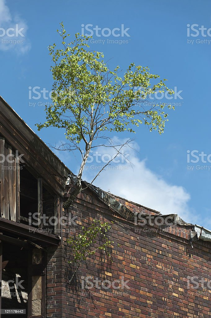 Birch grows out of the facade at an old building stock photo