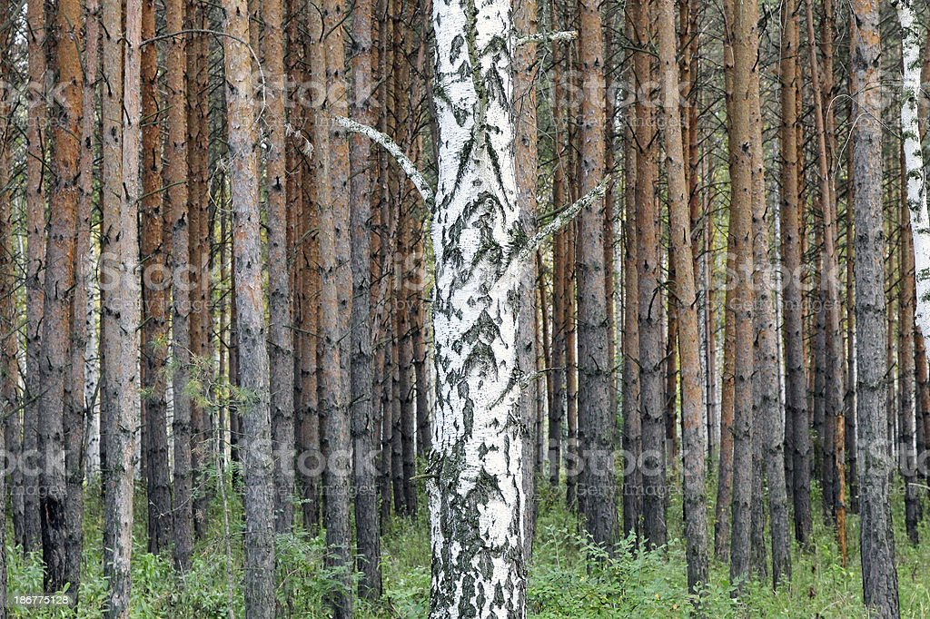 Birch in pine forest royalty-free stock photo