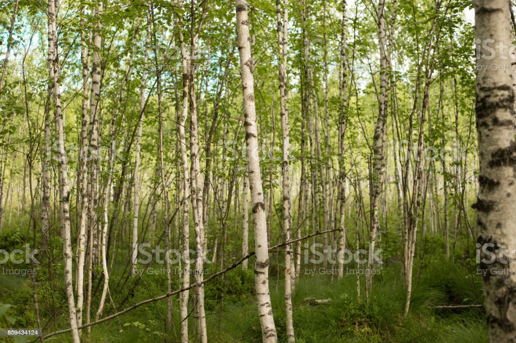 A birch is a thin-leaved deciduous hardwood tree of the genus Betula. stock photo