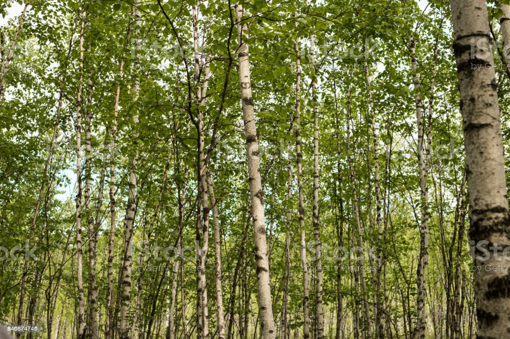 A birch is a thin-leaved deciduous hardwood tree. stock photo