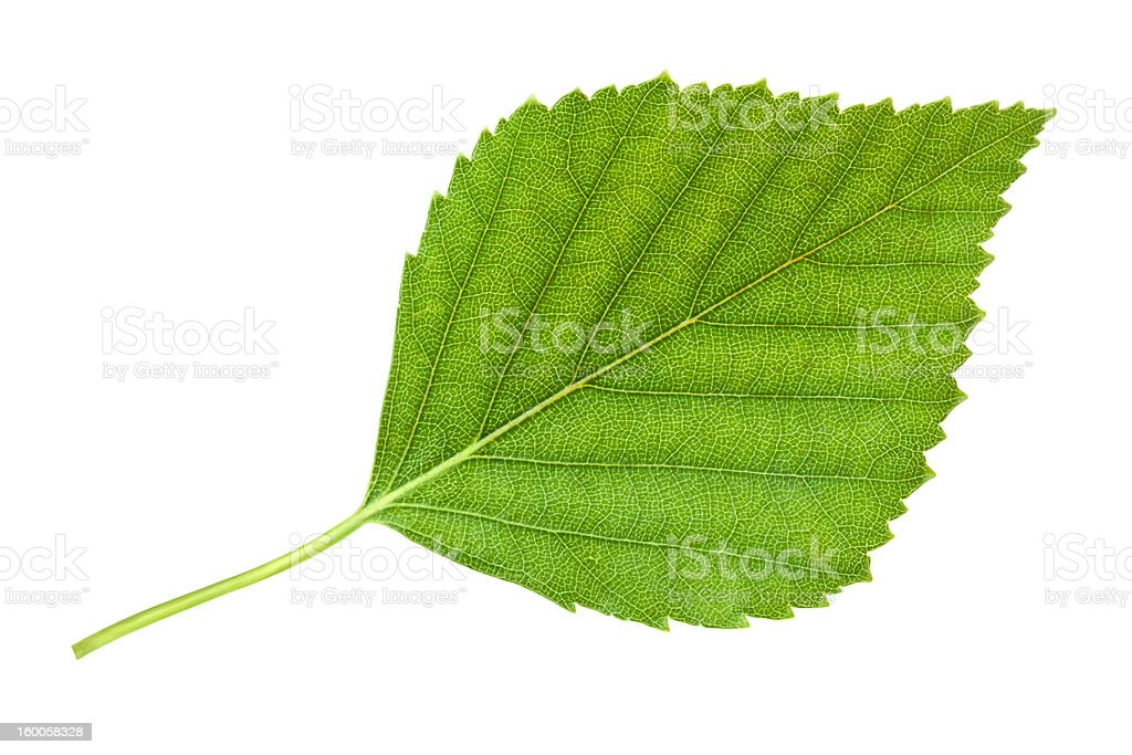 Birch leaf stock photo