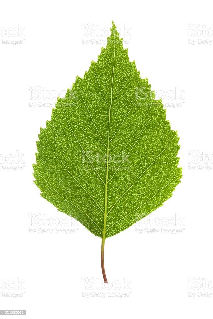 Birch leaf stock photo
