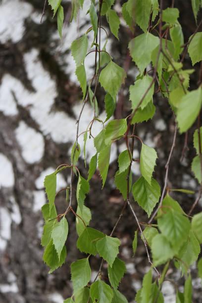 Birch leaves and birch bark. stock photo