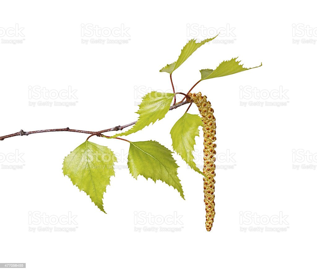 Birch leaves and flower catkin isolated on white stock photo