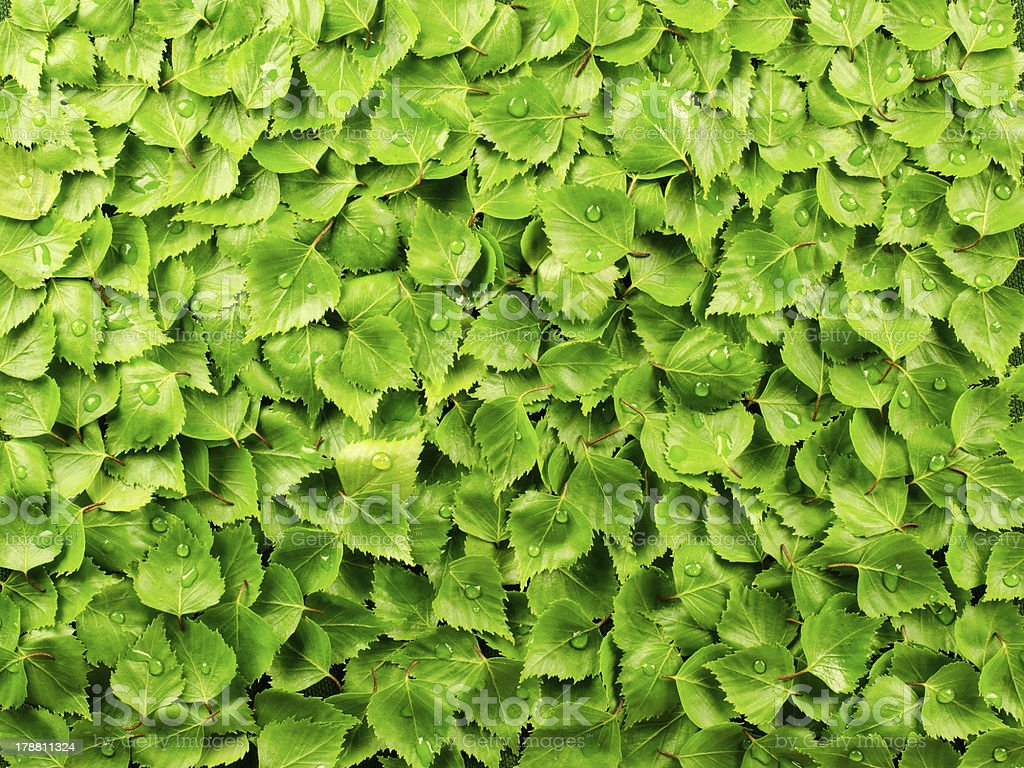 Birch leaves background royalty-free stock photo