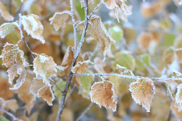 白樺の葉の霜で覆われています。 ストックフォト