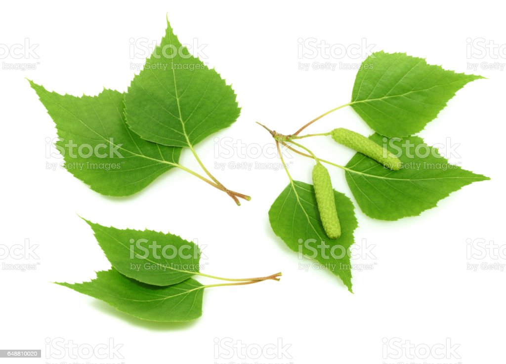 Birch leaves isolated. set stock photo