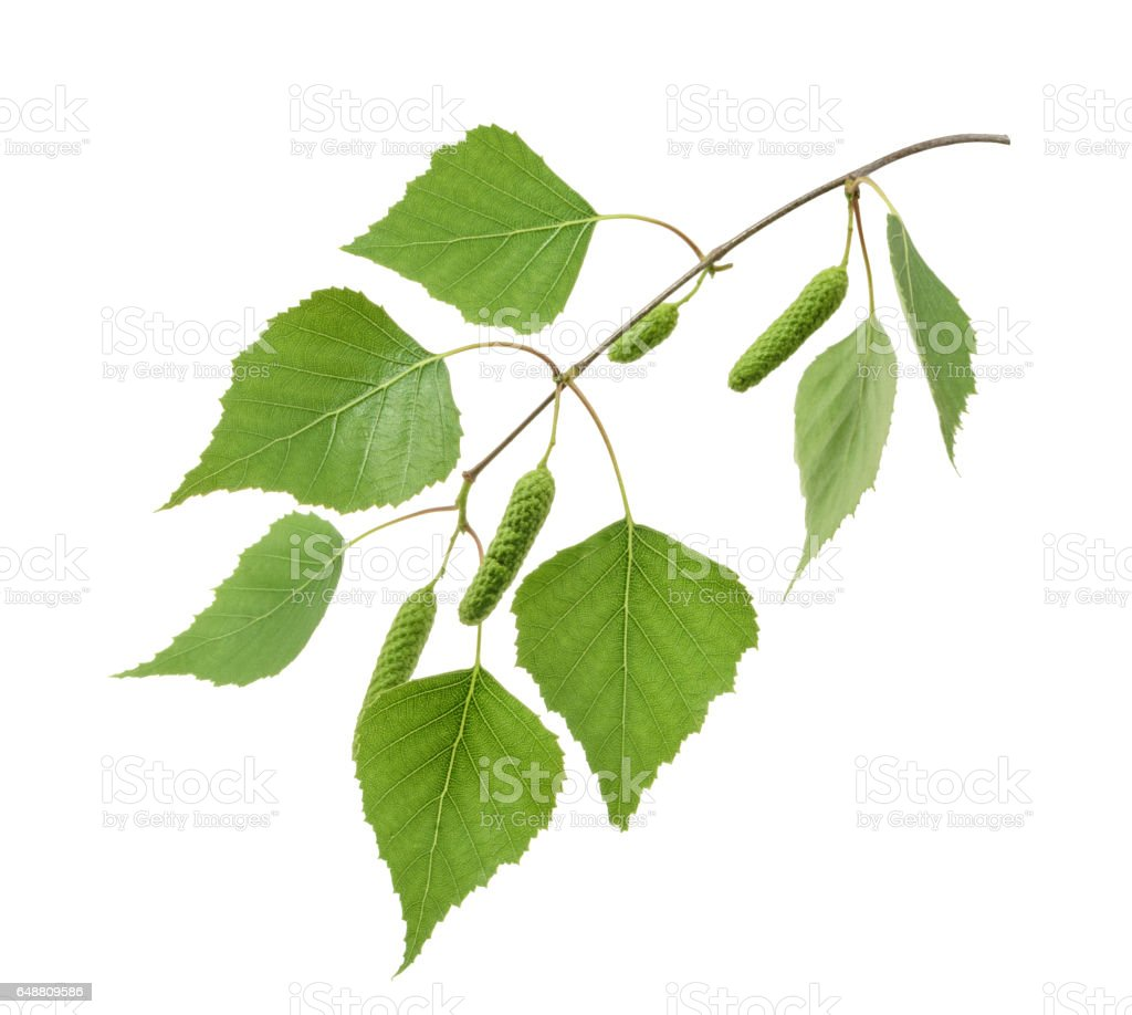 Birch leaves isolated. without shadow stock photo