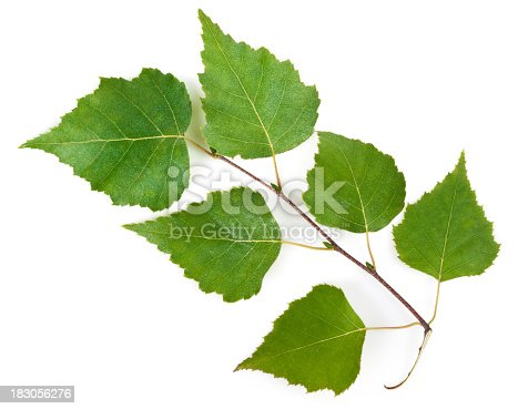 Birch (Betula) leafs on white. This file is cleaned, retouched and contains