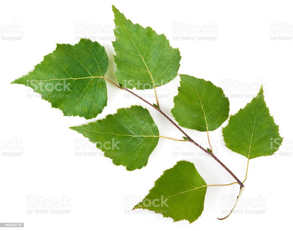 Birch leaves on a stem on a white background stock photo