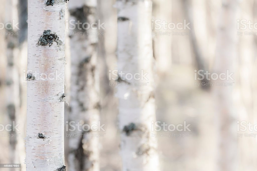 Birch – Foto