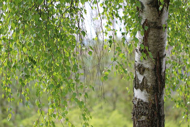 Royalty Free Birches Garden Germany Pictures, Images and Stock ...