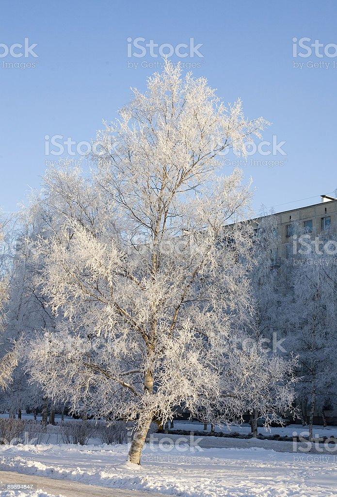 Birch Lizenzfreies stock-foto