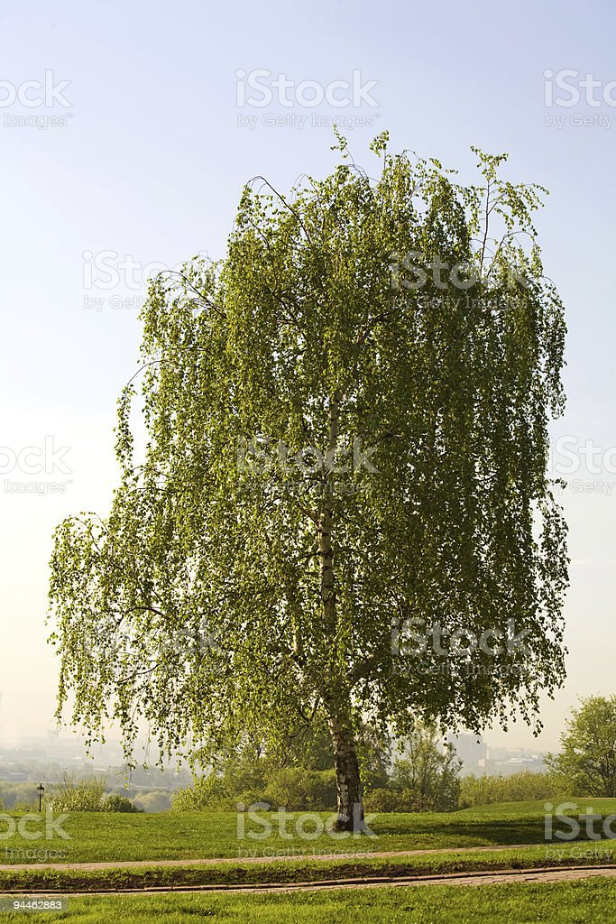 birch royalty-free stock photo