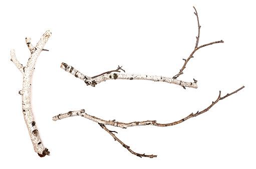 istock Birch. 968591398