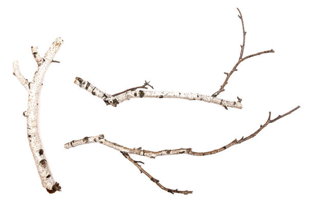 birch. - branch plant part stock pictures, royalty-free photos & images