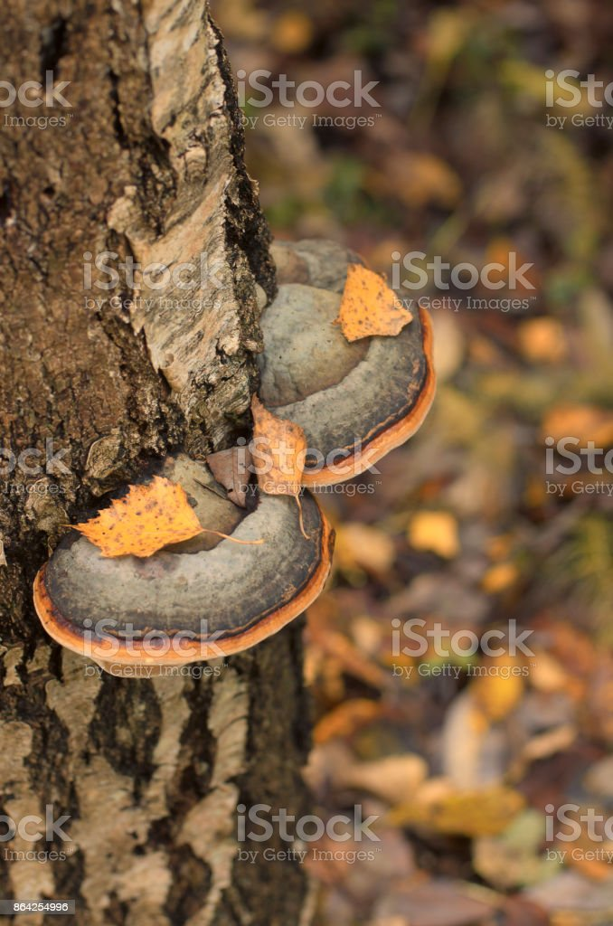 Birch polypore on a tree trunk royalty-free stock photo