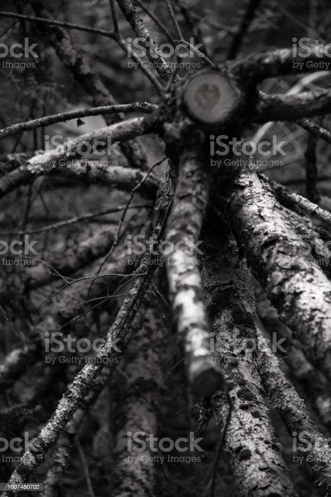 Birch Spokes stock photo