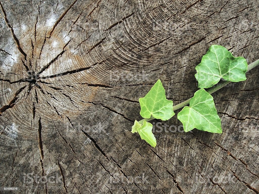Birch Stump and Ivy Leaves royalty-free stock photo