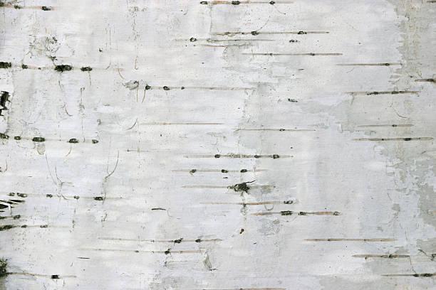 birch texture #1 stock photo