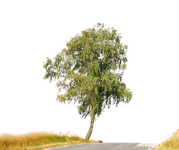 Birch tree (Betula pendula) along street isolated on white. stock photo