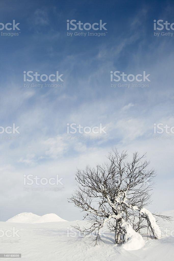 Birch tree at Mt. Städjan stock photo