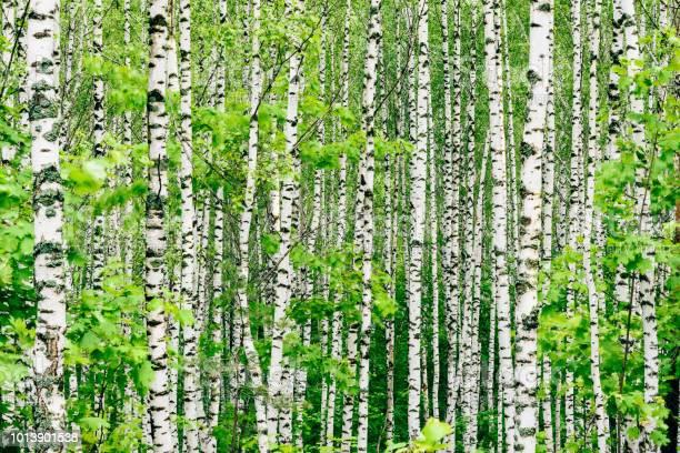 Photo of Birch tree background