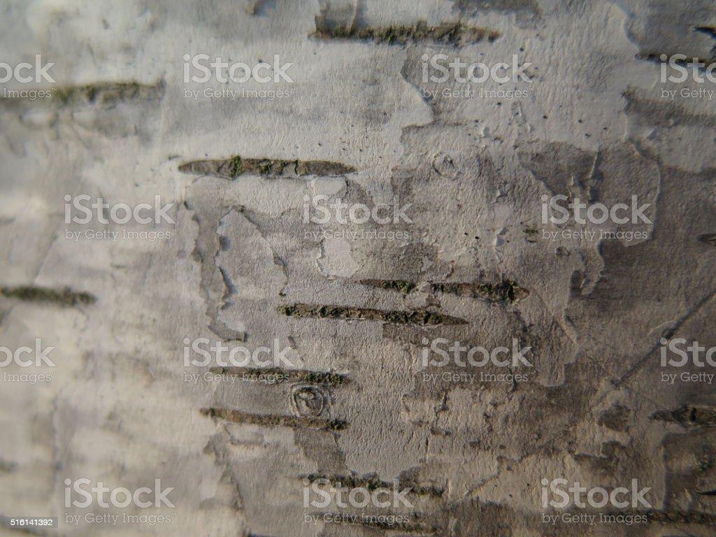 Birch tree bark close up stock photo