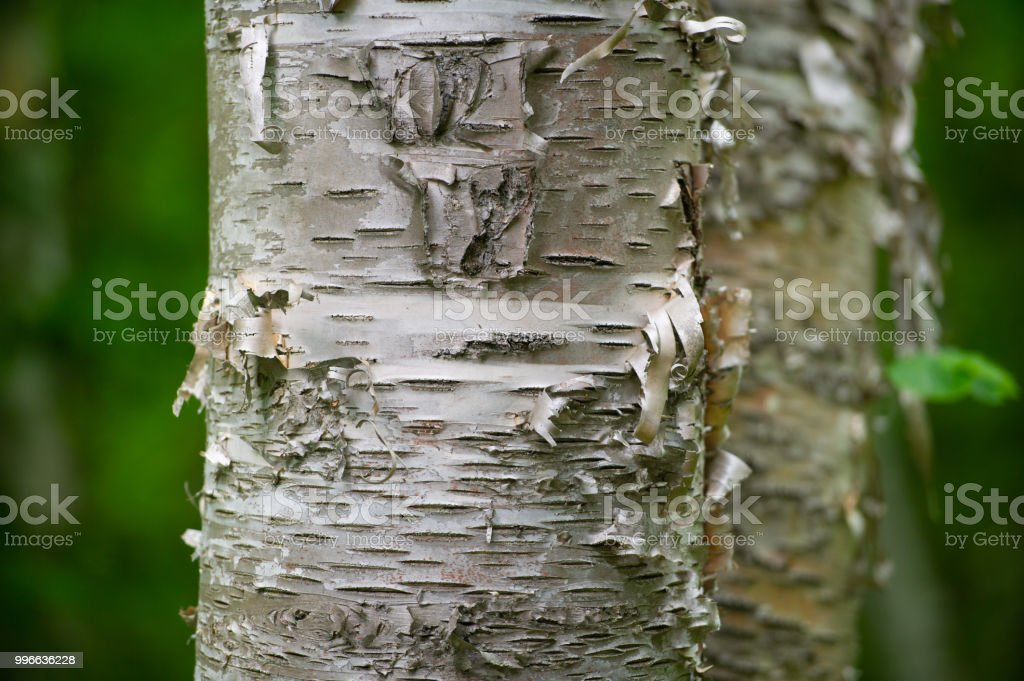 Birch tree bark closeup stock photo