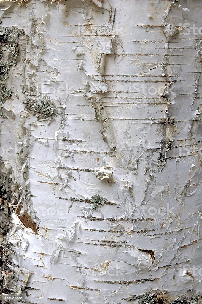 birch tree bark royalty-free stock photo