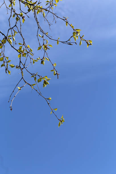 Birch Tree Branches During Early Spring stock photo