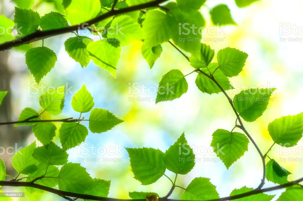 Birch tree branches stock photo