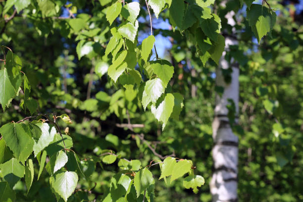 Birch Tree Details: Green Leaves, Branches and Trunk stock photo
