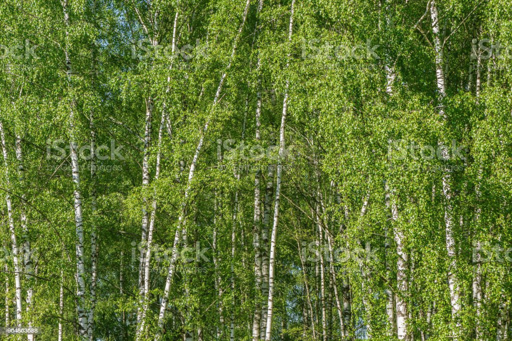 Birch tree forest background. royalty-free stock photo